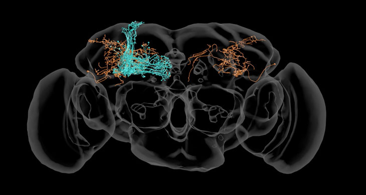 nerve cells in the fruit fly brain