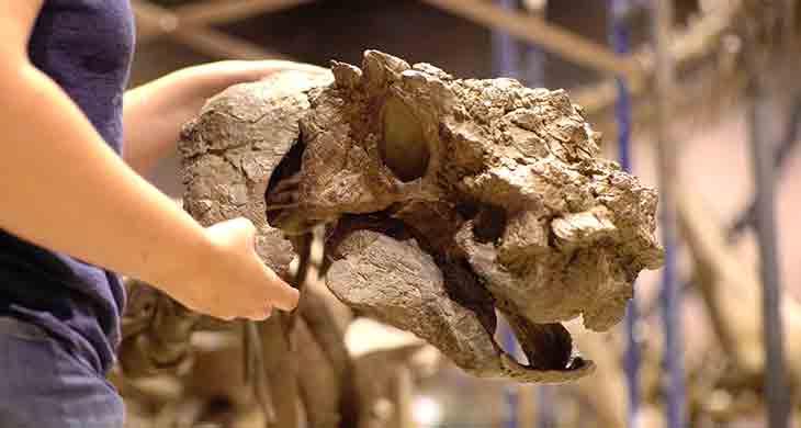 Akainacephalus johnsoni skull