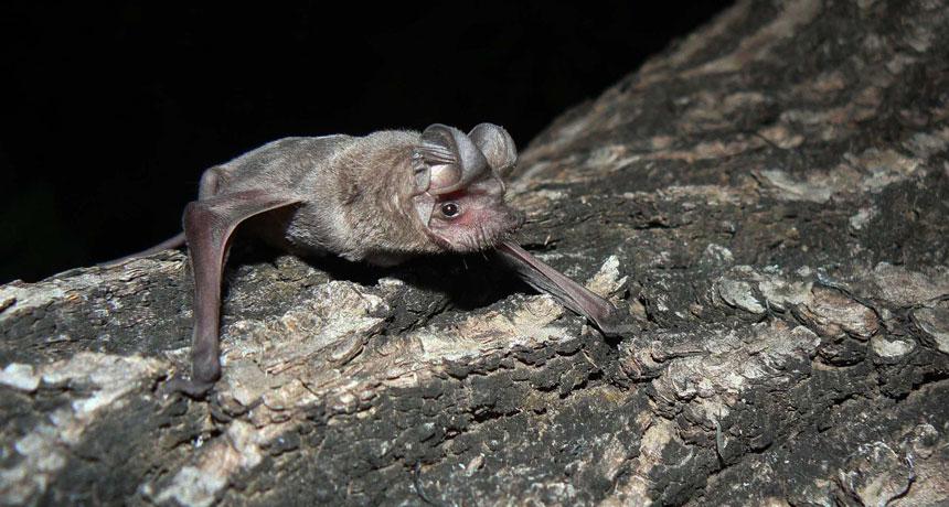 Little free-tailed bat