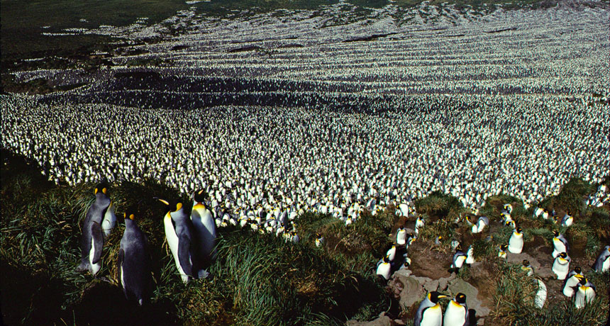 king penguins taken in 1982