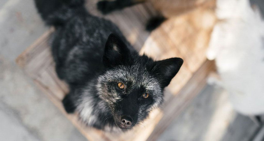 Red fox genome may reveal domestication secrets | Science News
