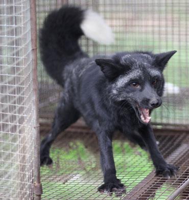 aggressive red fox