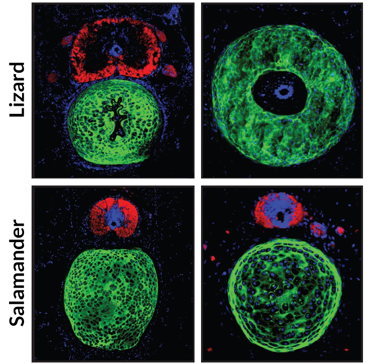 fluorescence microscopy images showing cross sections of original lizard and salamander tails
