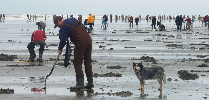 people digging for razor clams