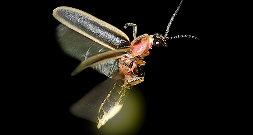 A photo of a firefly flashing