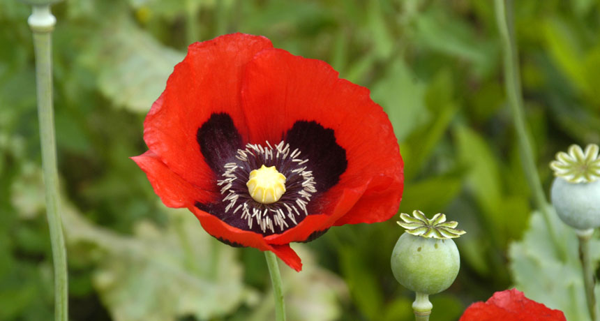 How The Poppy Got Its Pain Relieving Powers Science News