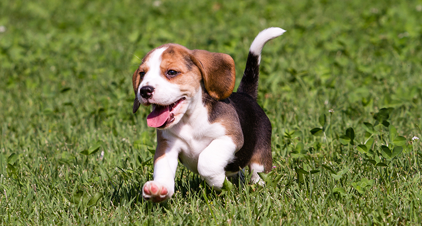 a beagle puppy romping in some grass