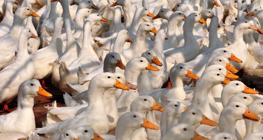 ducks in China