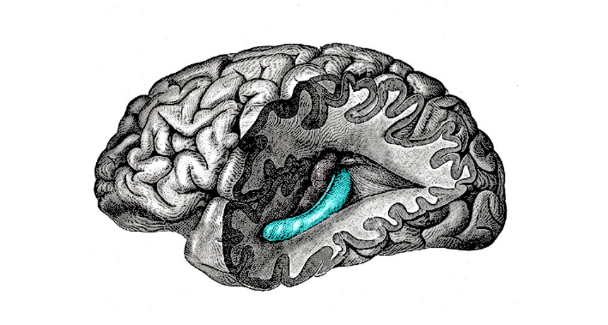 brain diagram with hippocampus