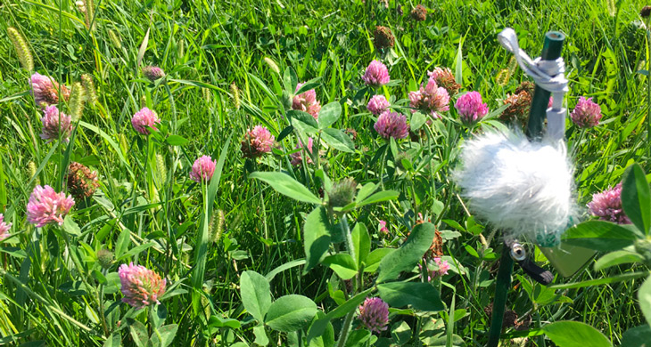 a photo of a clover field with a microphone hanging from a stake on the left side of the picture