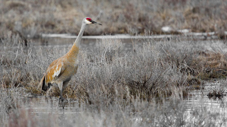 a photo of a sandhill crane standing in a wetland