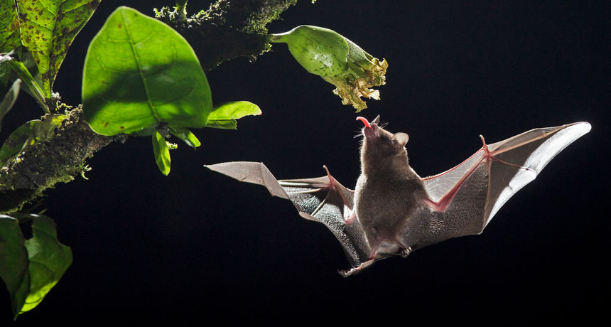 Pallas's long-tongued bat hovering