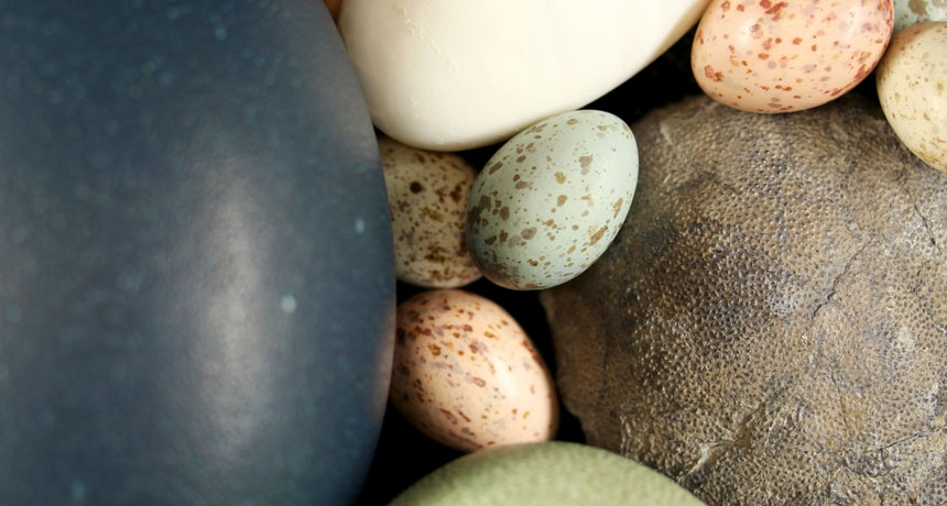 a photo of a large gray fossilized egg along with modern day eggs of different hues