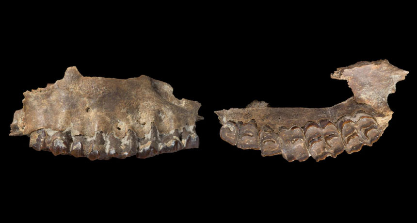 ancient antelope jaw and teeth