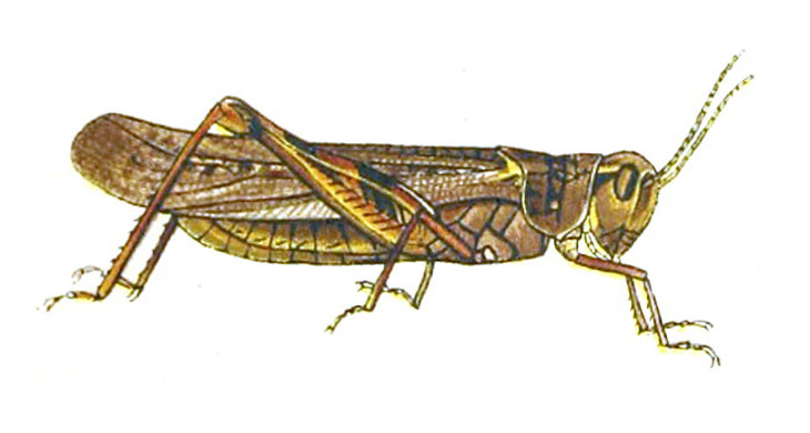 an illustration of a Rocky Mountain locust