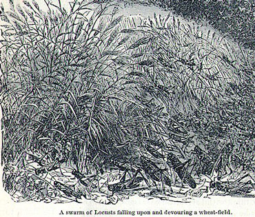 an illustration of a locust swarm devouring a wheat field