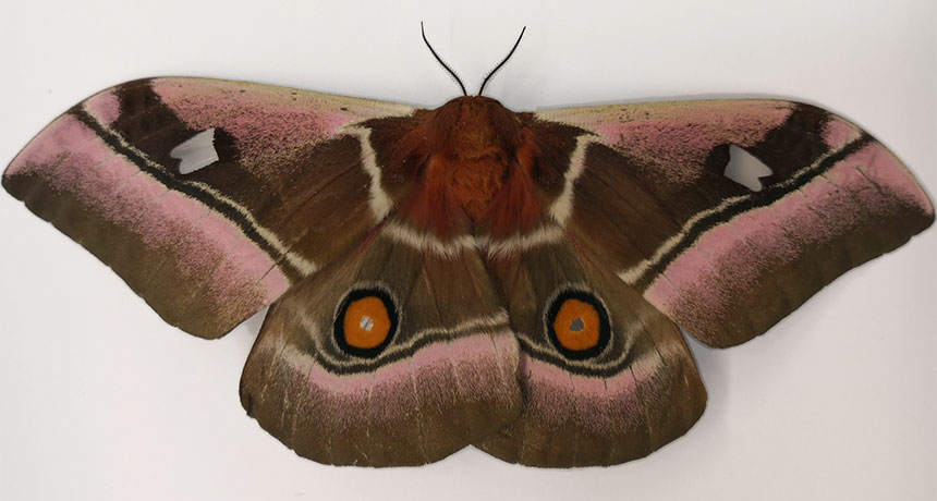 cabbage tree emperor moth