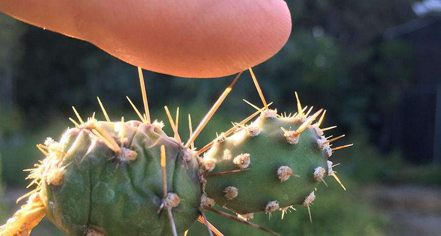 cactus spine poking a finger