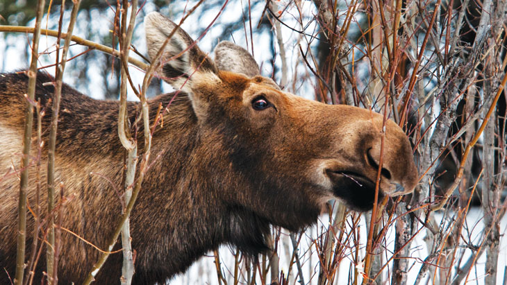 a photo of a moose