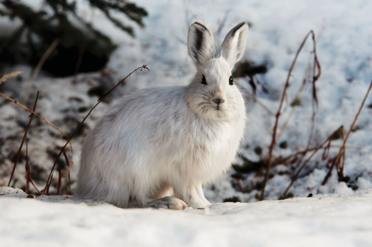 a photo of a snowshoe hare in the snow