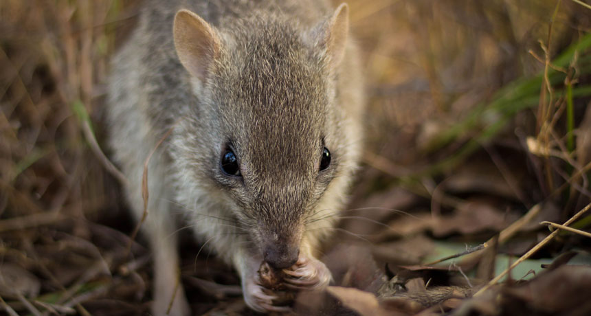 northern Australian bettong