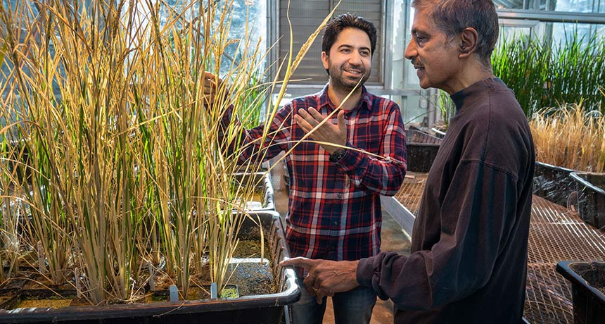 scientists with hybrid rice plants