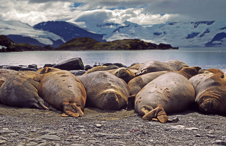 a photo of a line of seals basking on an Alaskan beach