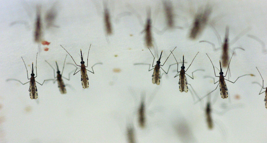 Anopheles gambiae mosquitoes