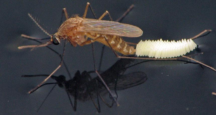 Culex quinquefasciatus mosquito