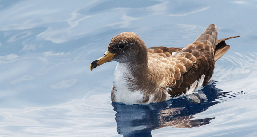 floating shearwater bird