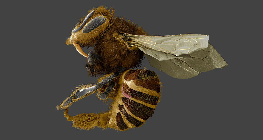honeybee with a Varroa destructor mite