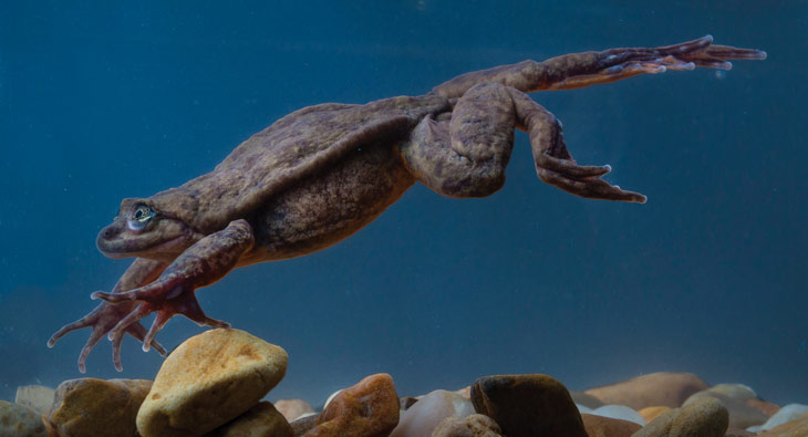 a photo of a Sehuencas water frog leaping