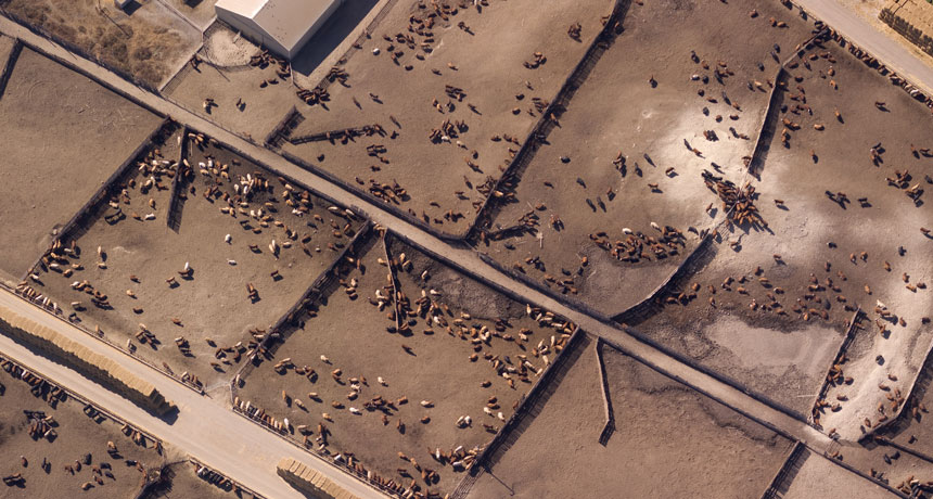 animal feedlots