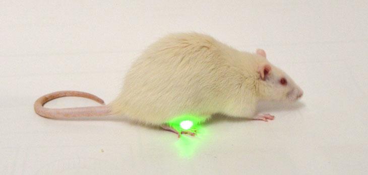 lab rat with optogenetic sensor