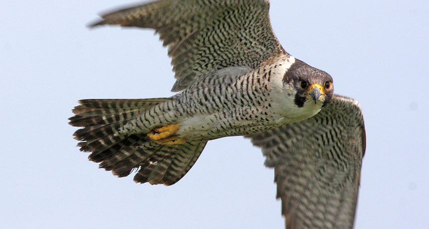 50 years ago, DDT pushed peregrine falcons to the edge of extinction |  Science News