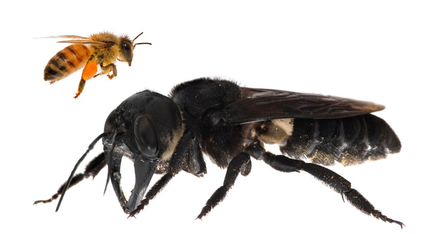 honeybee and Wallace's giant bee