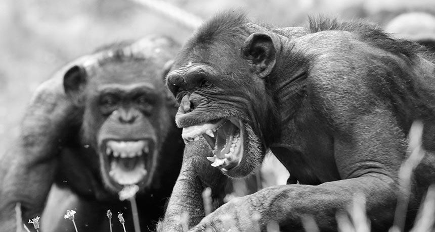 Chimps screaming
