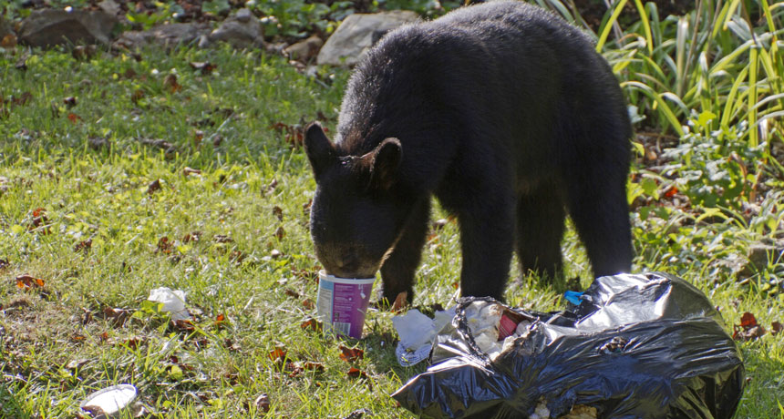 black bear eating trash