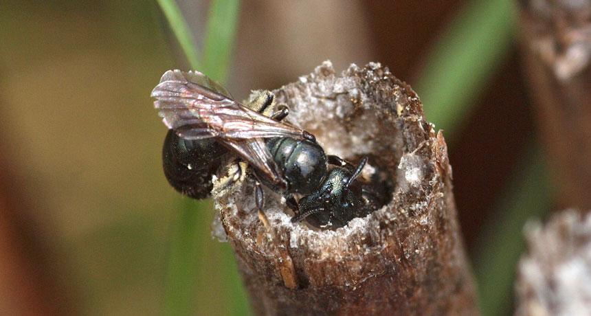 male bee