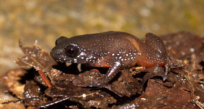 starry dwarf frog