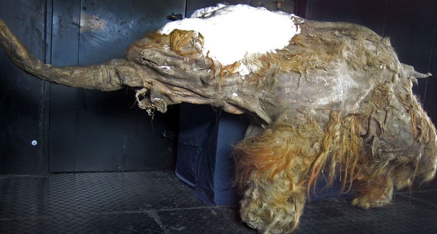 Siberian mammoth