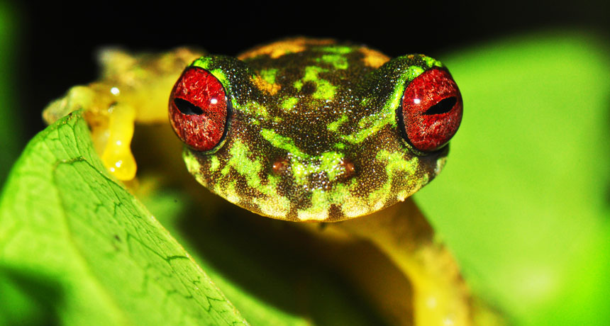 mossy red-eyed frogs