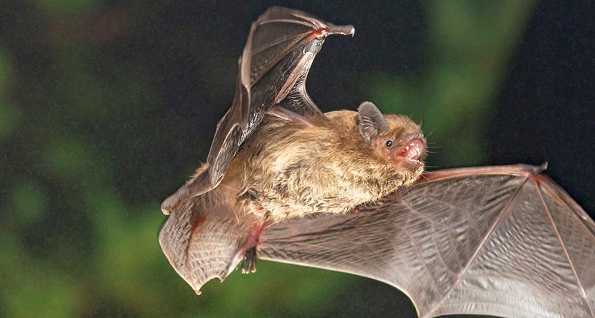 Soprano pipistrelle bats