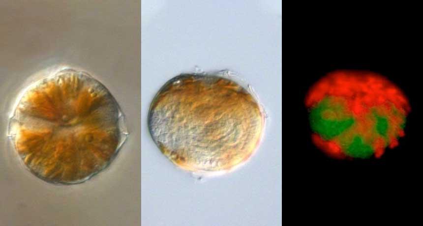 an infected ocean alga called Alexandrium
