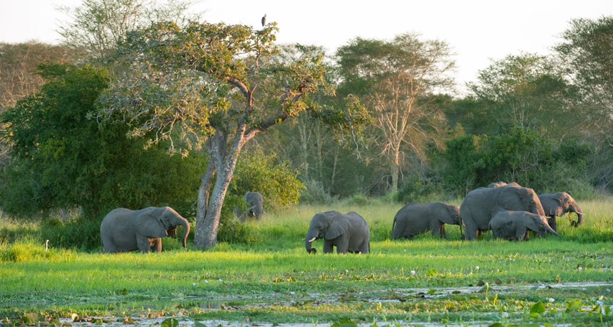 Gorongosa elephants
