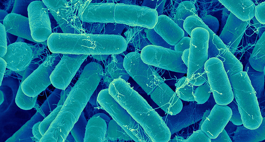 A gut bacteria transplant may not help you lose weight