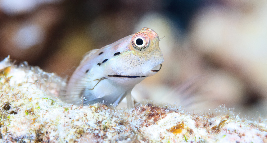 Great Barrier Reef blenny