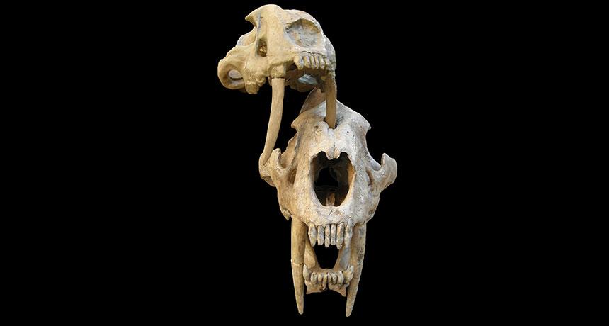 saber-toothed cat skulls
