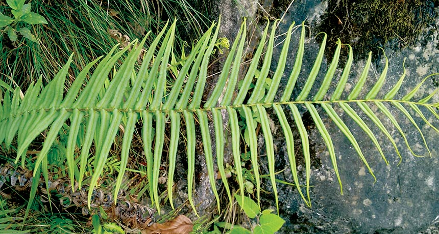 Pteris vittata ferns