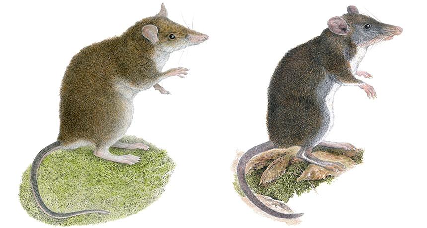 Rhynchomys rats